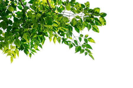 greening: Green leaves frame isolated on white background. Copy space for design