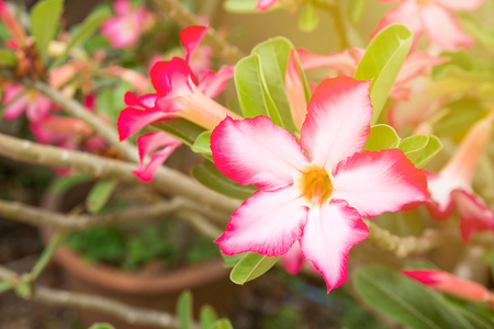 Impala Lily or Desert Rose or Mock Azalea, beautiful pink flower in garden. Fresh pink flower for background and texture.