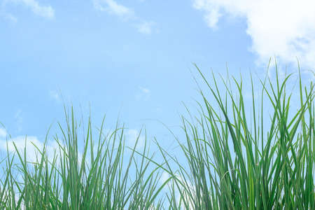 Fresh green grass and blue sky with white cloud. Copy space for design