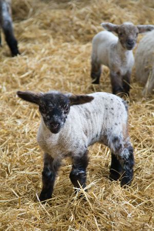 Black-faced lamb in a barn filled with straw Stock Photo - 2863141