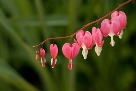 Heart-shaped dicentra flowers suspended on a stem photo