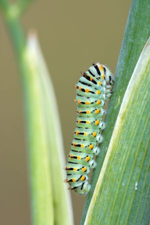 Green, yellow and black swallowtail caterpillar on a stalk photo
