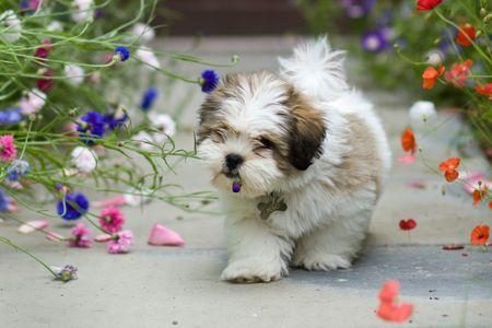 LHASA APSO cachorro  Foto de archivo