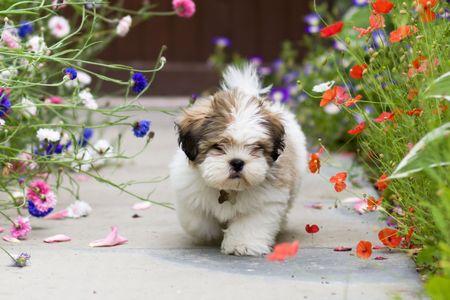garden cornflowers: Lhasa apso puppy