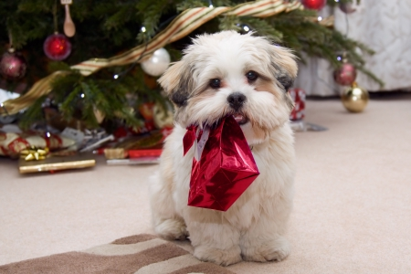 holding a christmas ornament: Cute lhasa apso puppy at Christmas