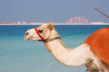 atlantis: Camel on Jumeirah Beach Dubai.  Atlantis the Palm can be seen in the distance Stock Photo