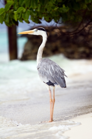 Grey heron  Stock Photo - 14585404