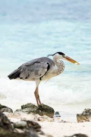 Grey heron fishing photo