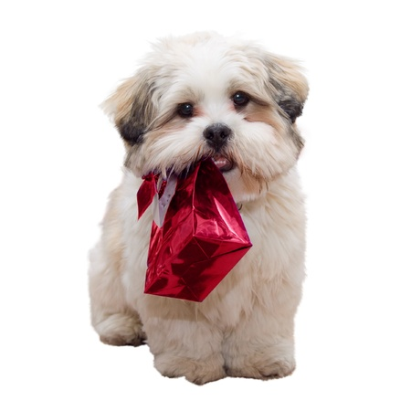 Lhasa apso puppy photo