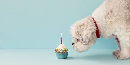 Small white dog and birthday cupcake Banco de Imagens