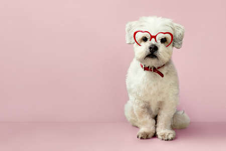 Small cute white dog wearing heart shaped glasses for Valentines