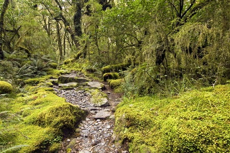 Mossy Beech Forest - Milford Track, South Island, New Zealand photo