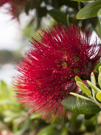 known: Pohutukawa Flower shot in the Bay of islands. Known as the New Zealand Christmas Tree Stock Photo