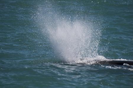 Sperm Whale, Kaikoura, South Island, New Zealand photo