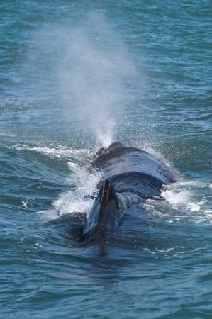 Sperm Whale, Kaikoura, South Island, New Zealand Banco de Imagens