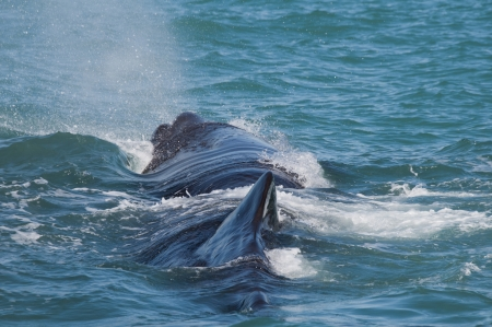 dive trip: Sperm Whale, Kaikoura, South Island, New Zealand Stock Photo