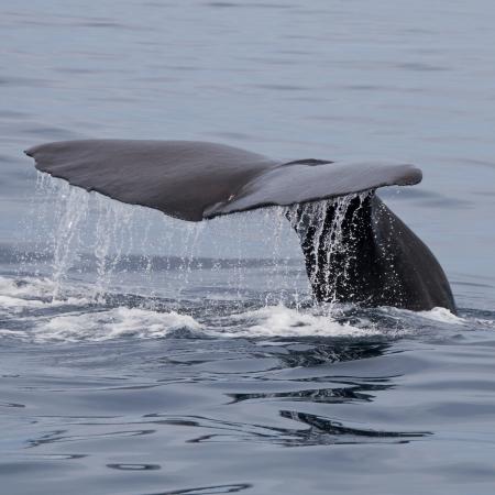 ballena azul: Cachalote, Kaikoura, Isla Sur, Nueva Zelanda