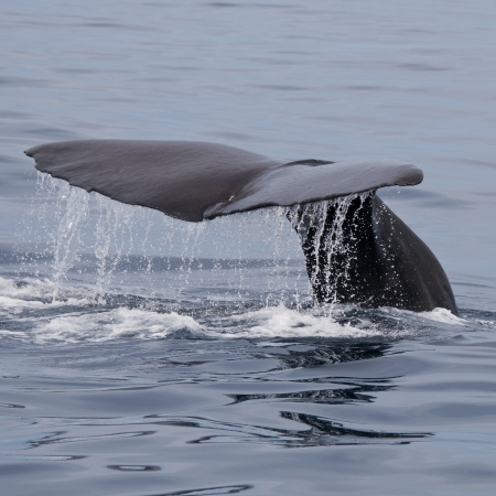 fish tail: Sperm Whale, Kaikoura, South Island, New Zealand Stock Photo