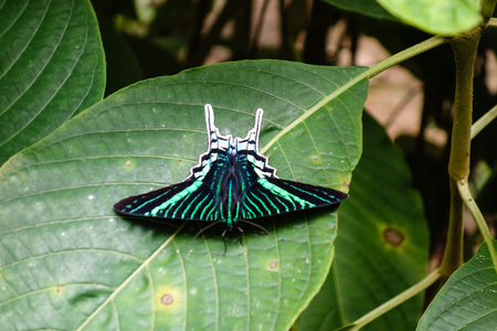 Clorful day-flying moth in the Madidi Jungle, Bolivia. Urania leilus, the green-banded urania, is a day-flying moth of the family Uraniidae