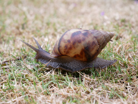 Snail crawling on green grass in the garden.
