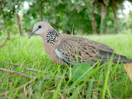 Spotted dove.Spotted turtle dove