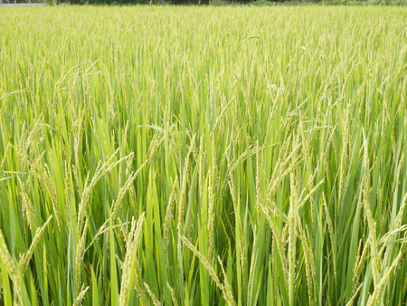 Rice field with lush greenery. Imagens