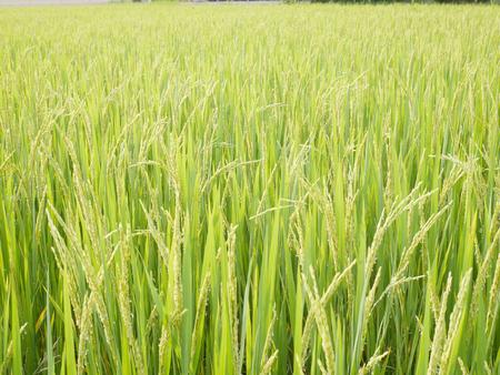Rice field with lush greenery. Reklamní fotografie