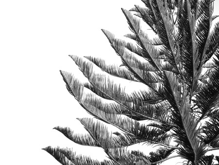 black leaves of tree on white background