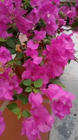 Magenta flower pot plant