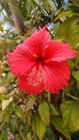 Cayenne flower - rose of china - poppy