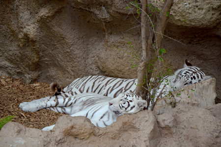 White tigers photo