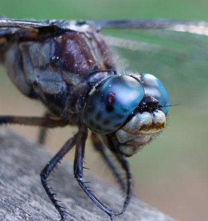 libellulidae: A closeup macro of a dragonfly for your use in anything you may need.