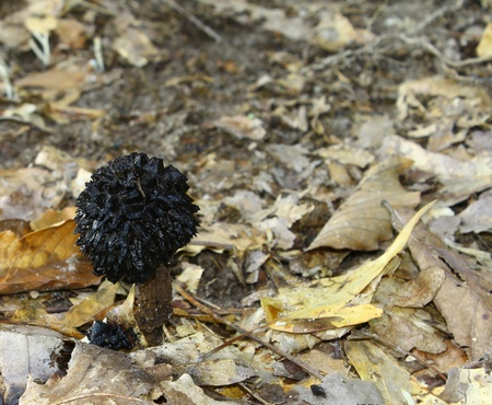 praised: A Black Truffel Mushroom fungus growing among the ground cover with room for your text. Stock Photo