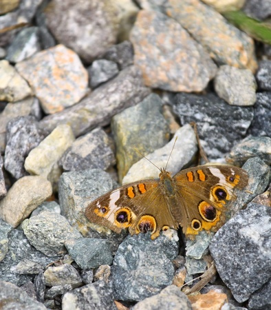 buckeye: A common Buckeye Butterfly resting on some rocks with room for your text
