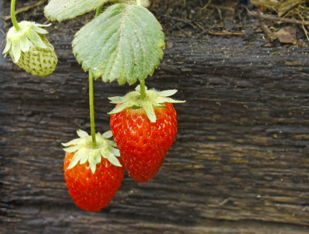 rosoideae: Two ripe red Strawberries growing outside with room for your text