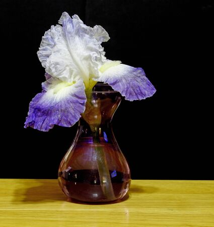 A purple and white bearded Iris in a glass vase on a wooden table against a black background. Stock Photo - 13739387