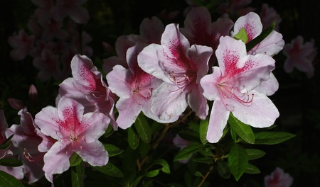 A few George Taber azalea's outside using selective focus and a shallow depth of field with room for your text Stock Photo - 13739386