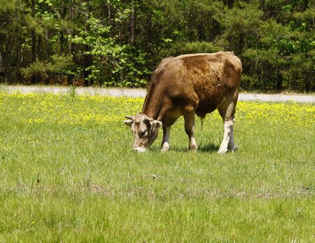 One single cow grazing in a farmers field filled with buttercups and room for your text. photo