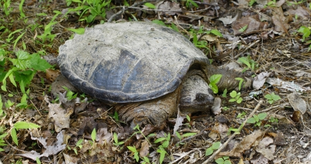 chordata: A very large common snapping turtle, (Chelydra serpentina) on his way through the grass in the early spring