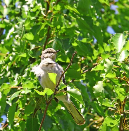 mockingbird: A wind blown Northern Mockingbird sitting in an ornamental pear tree during the summer with plenty of room for your text Stock Photo