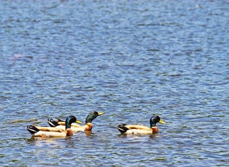 Three Male Mallard Ducks swimming in the reservoir on a summer day with room for your text. photo