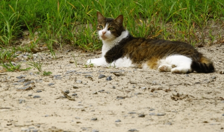 stretched out: Ace the tabby calico cat stretched out and relaxing in the dirt along the grass on a summer day with room for your text