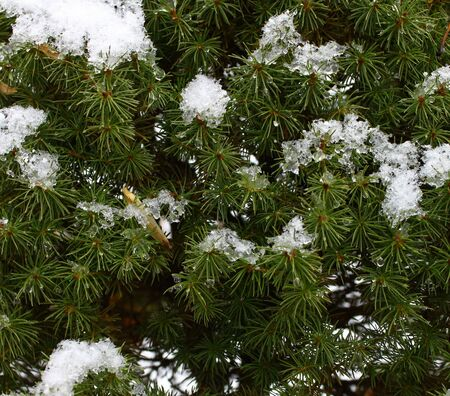 freshly fallen snow: albero di pino con neve appena caduta su di esso