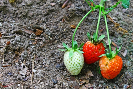 rosoideae: Three Strawberries growing outside showing the different stages of growth with room for your text Stock Photo