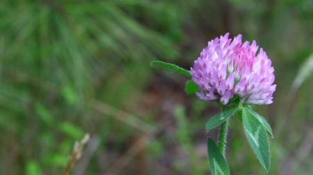 A purple clover flower using a shallow depth of field and selective focus with room for your text. Stock Photo - 14952438