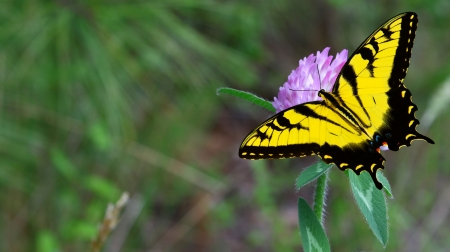 pres: A purple clover flower with an Eastern Tiger Swallowtail Butterfly on it using a shallow depth of field and selective focus with room for your text. Stock Photo