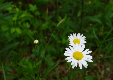 Daisies in the grass using selective focus and a shallow depth of field with room for your text Stock Photo - 14952433