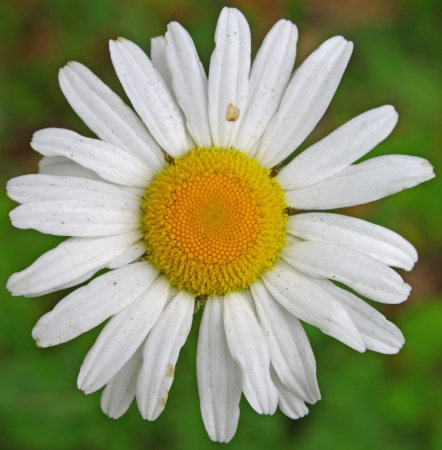 A closeup of a single Daisy flower.  Stock Photo - 14952434