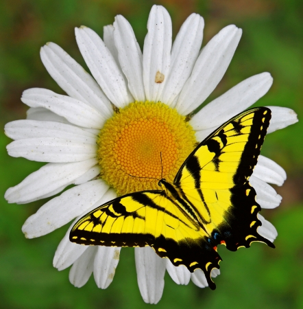 A closeup of a single Daisy flower with a Swallowtail Butterfly on it with room for your text. Stock Photo - 14952435