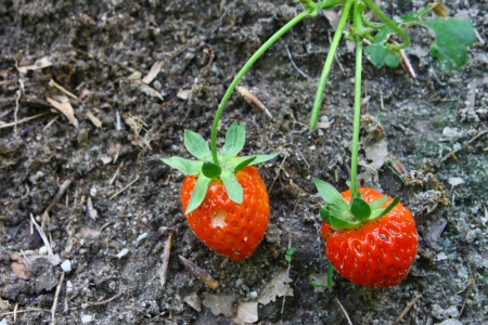 rosoideae: Two ripe red Strawberries growing outside with room for your text. Stock Photo